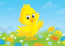 Chick. Little yellow nestling on a flowery meadow Stock Image
