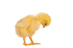 Chick looking down. Cute little easter chick looking down on a white background Stock Image