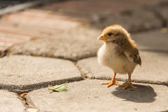 Chick looking for its mom stock images