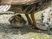 Chick of mallard finds shelter under the mother. To rest in the shade Royalty Free Stock Image