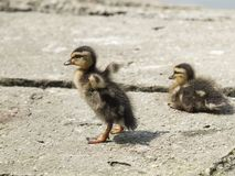 Chick of mallard walks away from his brother. In the direction of the pond Stock Photo