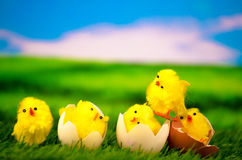 Chick on a meadow - Happy Easter. Chick on a green meadow - Happy Easter Royalty Free Stock Image