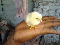 Chick. In my hand Royalty Free Stock Photography