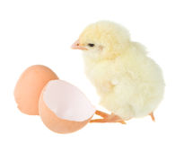 Chick near shell Royalty Free Stock Photography