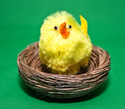 Chick in a Nest Royalty Free Stock Photos