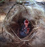The chick in the nest Royalty Free Stock Image