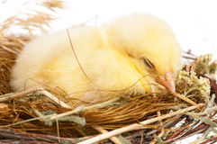 Chick in nest Royalty Free Stock Photography