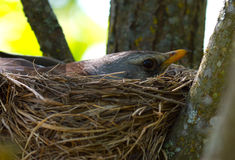 Chick in the nest Royalty Free Stock Photo