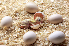 A chick newborn. Birth of a baby chick on a farm Stock Photos