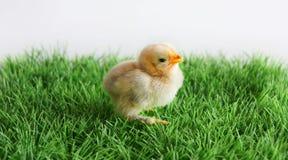 chick noworodek Obraz Royalty Free