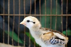 Chick in the Nursery, under the Light bulbs for warmth. Newly ha. Tched young domestic fowl in the cage stock photography