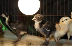 Chick in the Nursery, under the Light bulbs for warmth. Newly ha stock photo