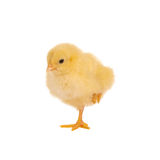 Chick with one leg up Stock Photos
