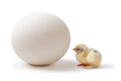 Chick and ostrich egg. Little pedigreed yellow brahma-chick  with shaggy paws looks at pink huge ostrich egg over white background Stock Photography