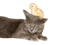Chick over chartreux cat Stock Images