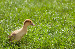 Chick over meadow Stock Photos