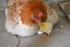 chick pękło nowo zdjęcia stock