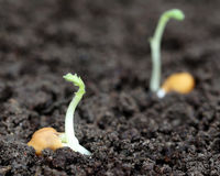Chick-pea seedling Stock Image