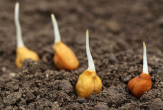 Chick-pea seedling in fertile soil Royalty Free Stock Photo