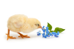 Chick pecks forget-me-not flowers Stock Photo