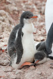 Chick penguin. Gentoo penguin chick standing next to the nest and adult birds Royalty Free Stock Photos