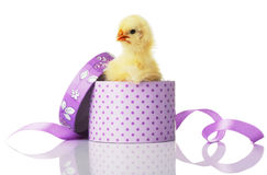 Chick with pink bow. Baby chick with pink bow is looking straight ahead. Isolated Royalty Free Stock Photo