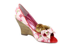 Chick in pink shoe Stock Image