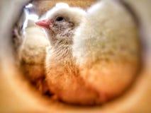 Chick& x27 ; planification de s à sortir photographie stock