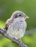 Chick Red-backed Shrike (Lanius collurio). Royalty Free Stock Photos