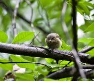 Chick Redstart que se sienta en un árbol y para padres que esperan fotos de archivo