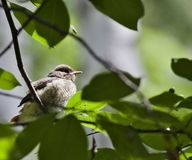 Chick Redstart sitting on a branch Royalty Free Stock Photos