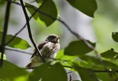 Chick Redstart sitting on a branch Stock Photo