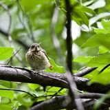 Chick Redstart sitting in a tree and waiting for parents Royalty Free Stock Images