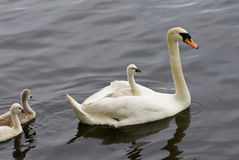 The chick is riding on the back of her mother-swan Royalty Free Stock Image