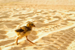 Chick running away Stock Image