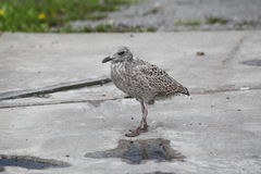 Chick of a Seagull, teenager on your own. Stock Photography