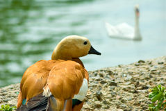 Chick on the shore Royalty Free Stock Images