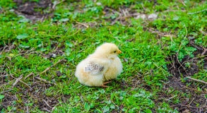 Chick sitting on green grass Royalty Free Stock Photos