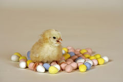 Chick sitting in miniature eggs Stock Photos