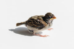 Chick sparrow in the sun Royalty Free Stock Photos