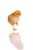 Chick standing isolated on white Royalty Free Stock Photography