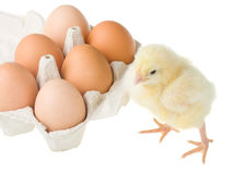 Chick standing near container with eggs Royalty Free Stock Photo