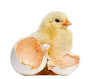 Chick standing next to its egg (2 days old) royalty free stock photography