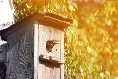 Chick Starling mira fuera de la casa en un día de primavera soleado Fotos de archivo