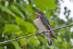 Chick swallow (Hirundo rustica) royalty free stock photography