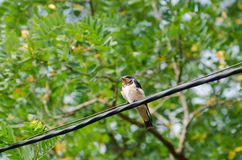 Chick swallow is sitting on the wire against the background of green leaves stock photography
