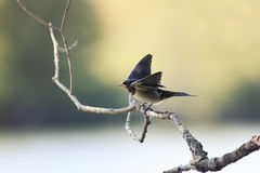 Chick swallows sitting on a branch wings spread and mouth open. Funny hungry chick swallows sitting on a branch wings spread and mouth open Royalty Free Stock Images