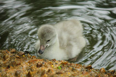 Chick of swan in the lake. A chick of swan in the lake Royalty Free Stock Photography
