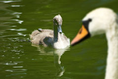 chick swan in the river close-up. Stock Photography