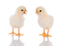 Chick Talk. Photo of two cute baby chicks, with reflection, over white background. Studio shot Stock Image